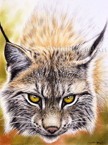 "Canada Lynx Limited Edition Print - ""Devilish"" - art print - original art - Wildlife and Art by Chuck Black"