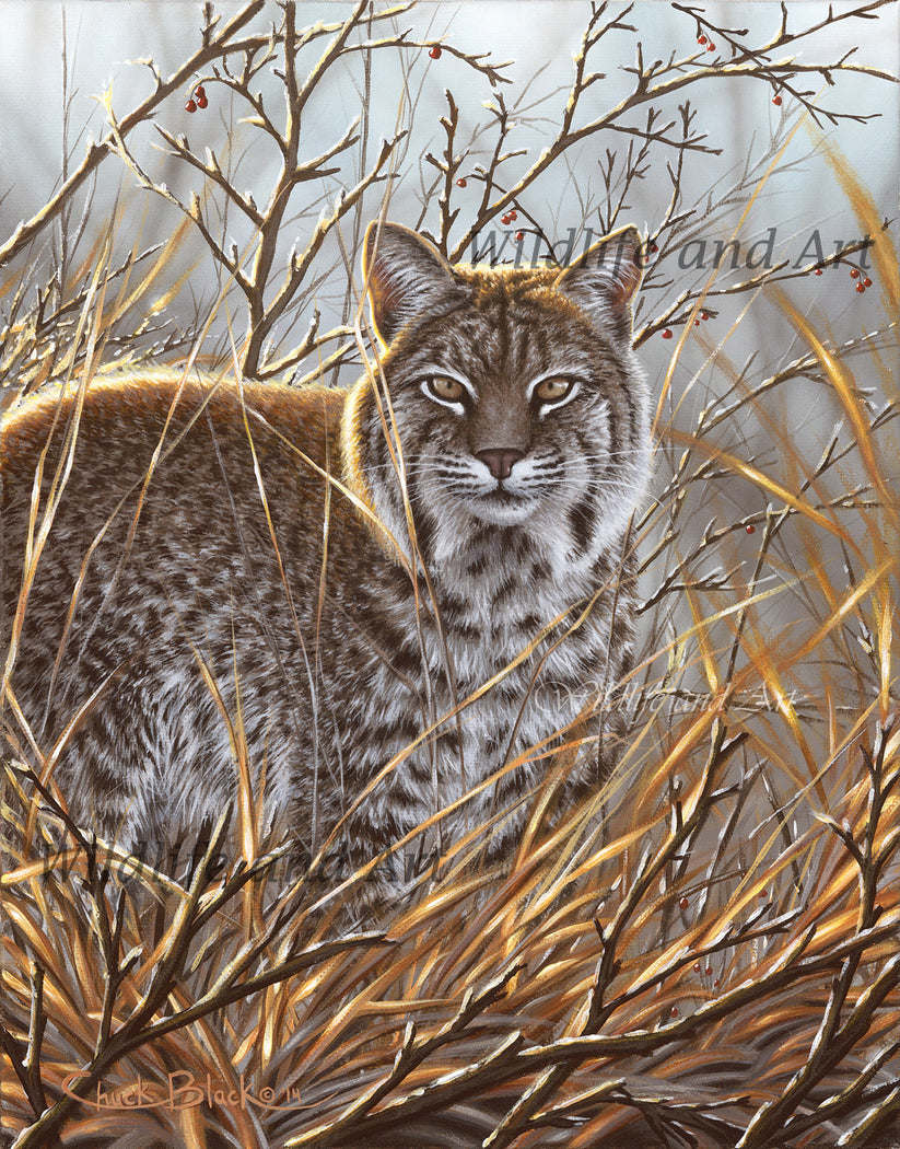 "Bobcat Canvas Art Print - ""Always Watching"" - art print - original art - Wildlife and Art by Chuck Black"
