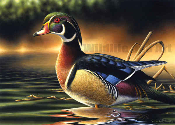"Wood Duck Canvas Art Print - ""Backwoods Marsh"" - art print - original art - Wildlife and Art by Chuck Black"
