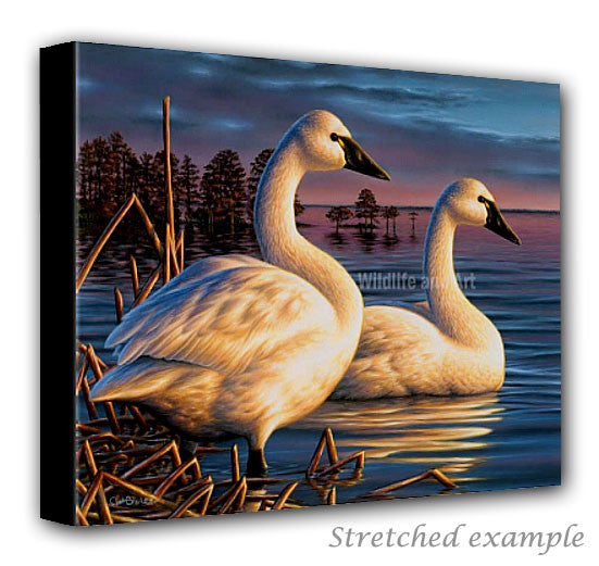 wildlife art canvas print - tundra swans - chuck black