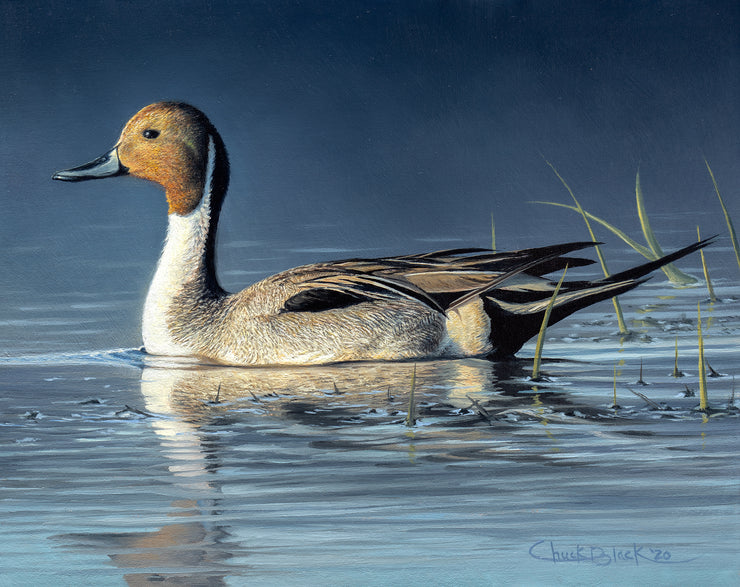 """Morning's Glow"" 8x10"" Pintail Waterfowl Painting"