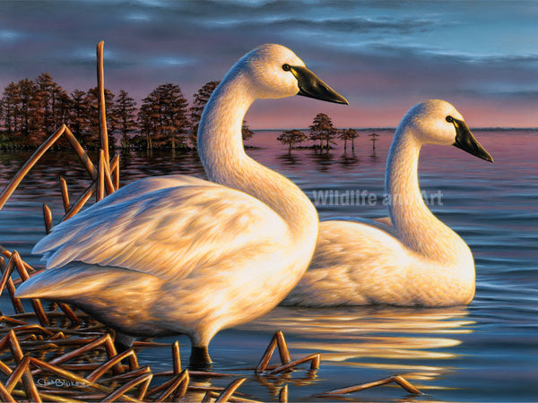 "Tundra Swan Canvas Art Print - ""Evening Tundras"" - art print - original art - Wildlife and Art by Chuck Black"