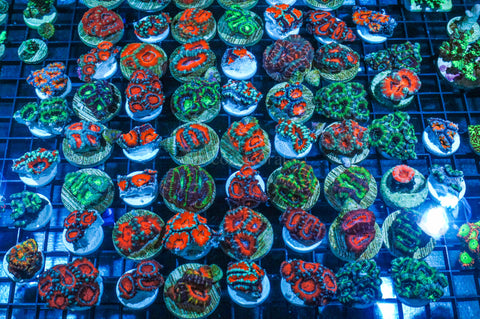Acan Lover 5 Pack - Instant Collection Lot Deal Grade A - Ultra