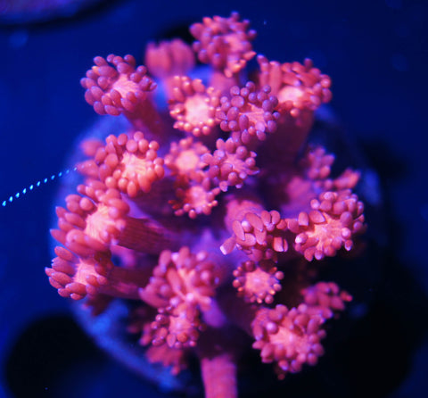 Pink/Red Goni Coral