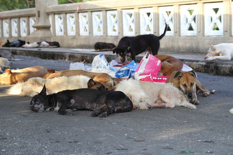 thai stray dogs
