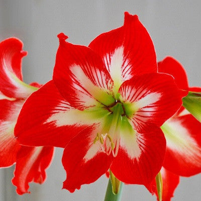 Amaryllis Barbados Lily (x10 graines)