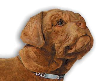 """Hooch"" Dogue de Bordeaux"