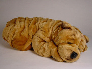 """Roly"" Chinese Shar-Pei"