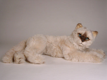 """Sassy"" Seal Point Himalayan"