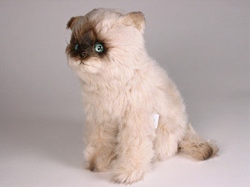 """Teddie"" Seal Point Himalayan"