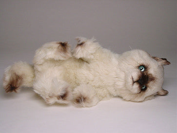 """Taffy"" Seal Point Himalayan"