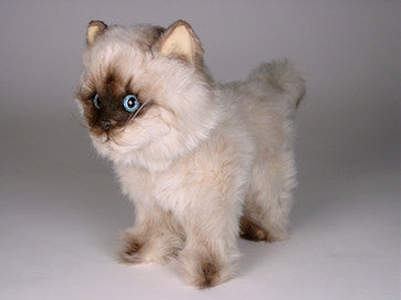 """CoCo"" Seal Point Himalayan"