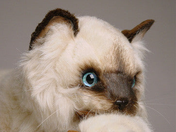 """Elizabeth & James"" Colorpointe Persian Ragdolls"