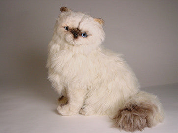 """Ashley"" Himalayan Persian"