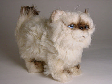 """Martha"" Himalayan Persian"