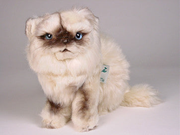 """Joy"" Himalayan Persian"