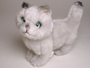 """Toby"" British Shorthair"