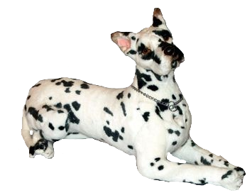 """Maynard"" Great Dane Harlequin"