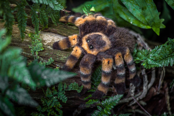 """Aggi"" Red Kneed Tarantula"