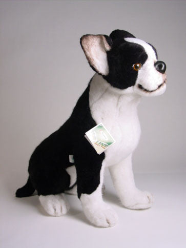 """Bean"" Boston Terrier"