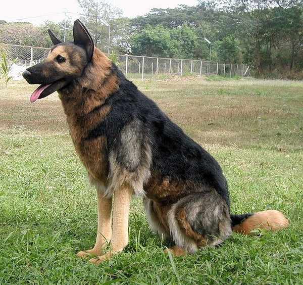 """Blue"" German Shepherd"