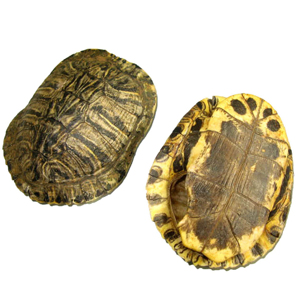 "New Genuine Red Ear Turtle Shells 5""-6"" Natural"