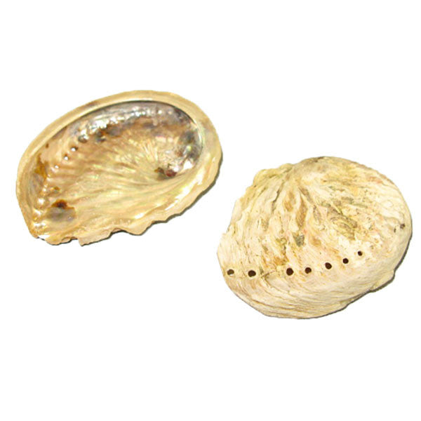 "Image of 23-00007 - Abalone Shell Natural 3"" to 4"""