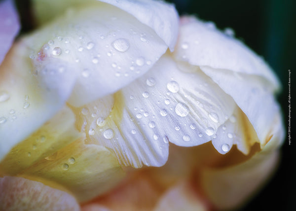 White Peony with Dew Drops