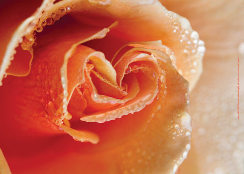 Orange Rose with Dew Drops