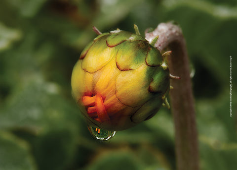 Bud with Dewdrop