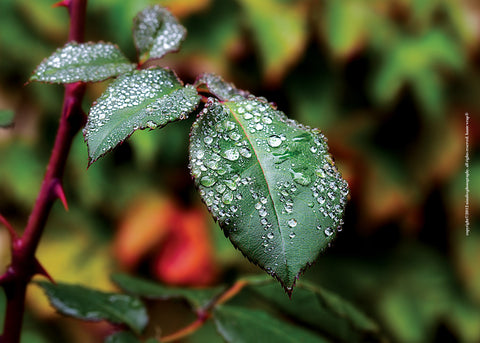 Rose Leaf with Dew Drops