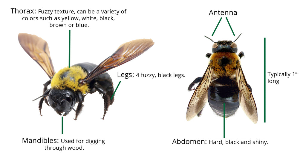 What does the anatomy of a carpenter bee look like?
