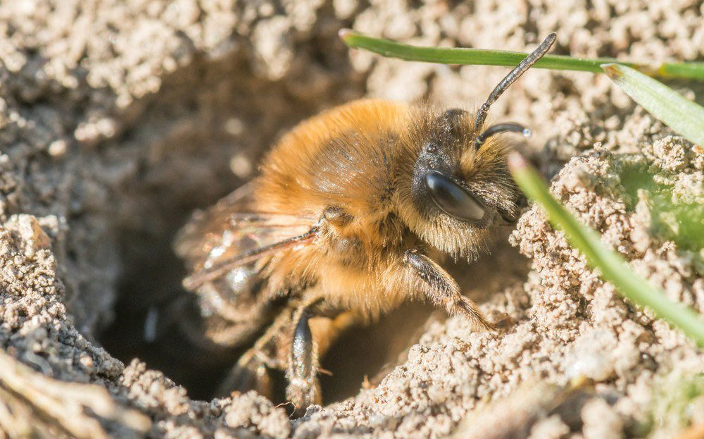 Do Carpenter Bees Burrow or Nest Underground?