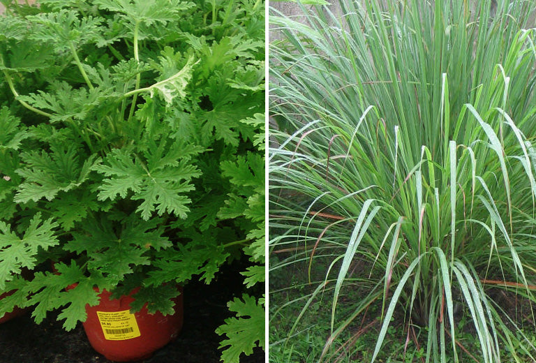 Lemongrass vs Citronella: What Fights Mosquitoes the Best?