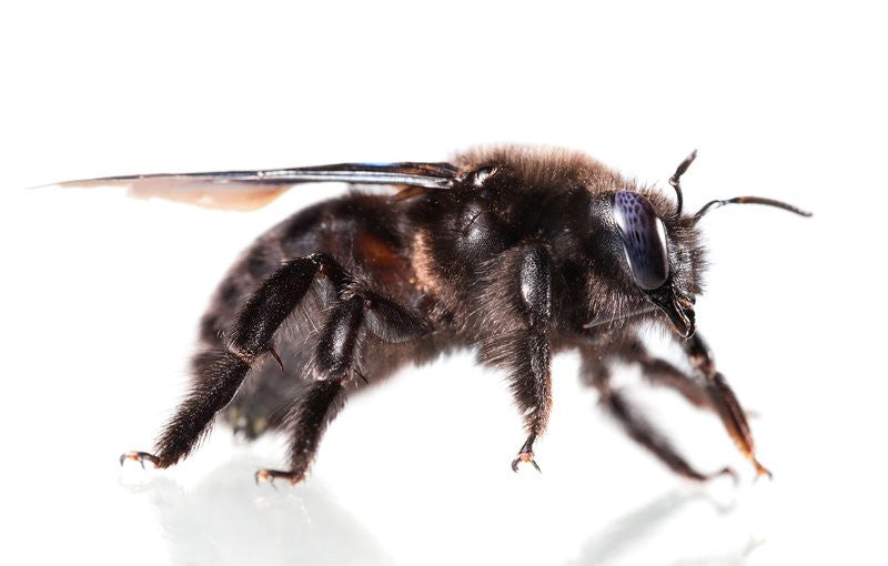 Black Bees? How to Differentiate a Bumble Bee vs Carpenter Bee