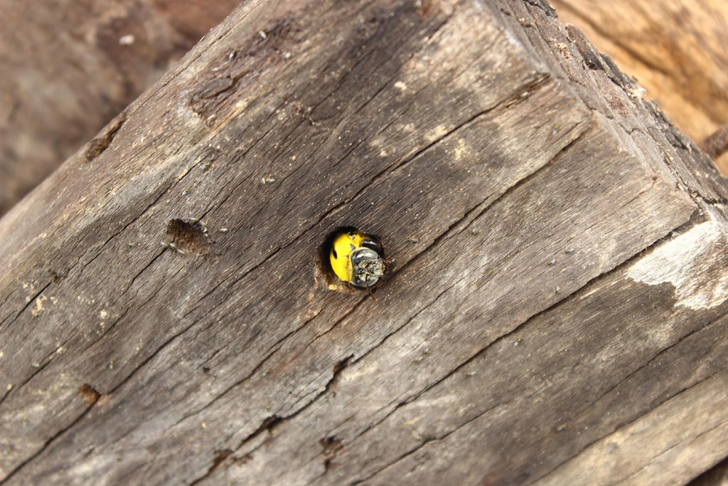 Where do carpenter bees go in the winter?