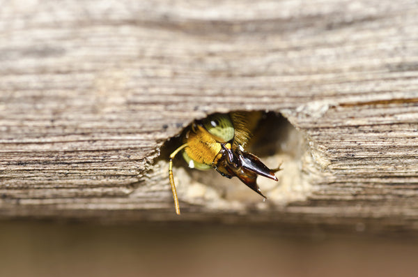 Filling Carpenter Bee Holes Carpenter Bee Control Best