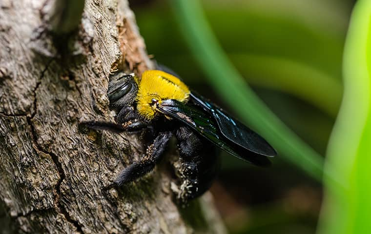 Termite bees are really carpenter bees   Best Bee Brothers