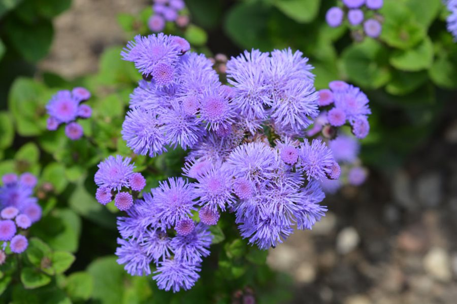 Floss Flower is also known as Ageratum