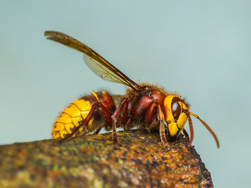Hornets usually have reddish markings on the thorax and head.