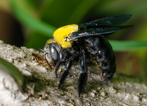 A male carpenter bee with a white head marking.
