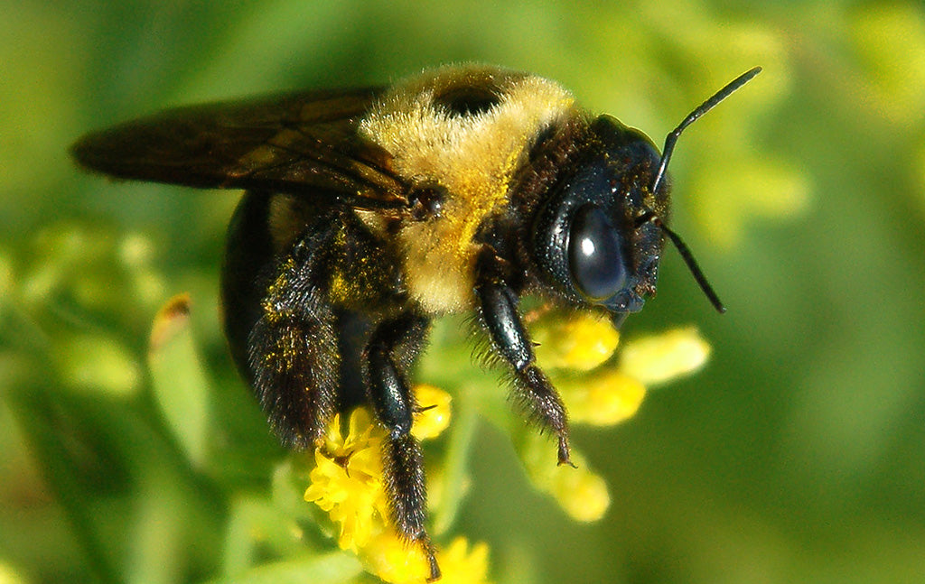 Eastern Carpenter Bee - Xylocopa virginica - Eastern US