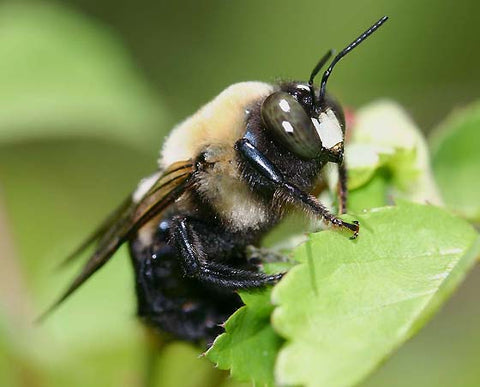 Male Carpenter Bee with white marking on head