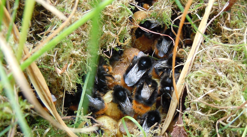 Bumblebees are ground-nesting bees