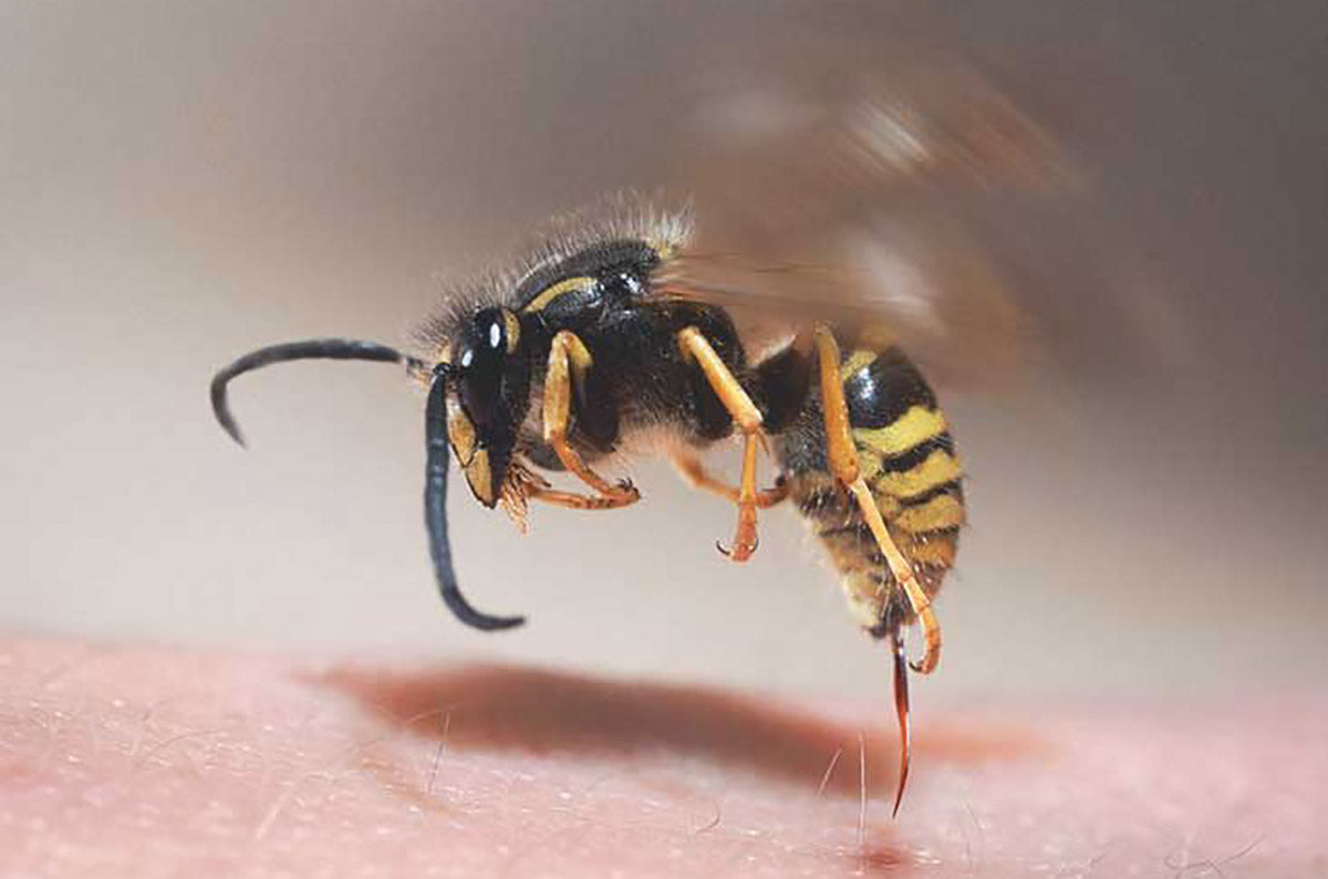 A yellow jacket in mid-sting.