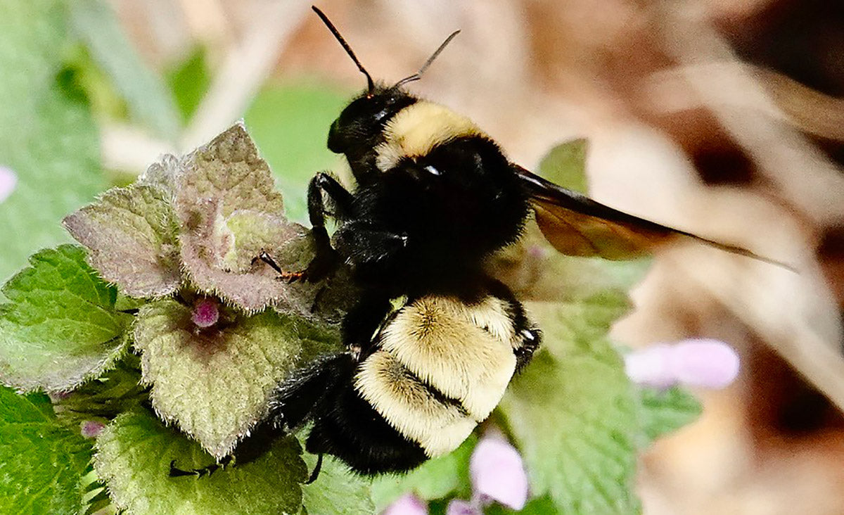 Bumble bees are one of many types of bees that can sting multiple times without losing their stinger.