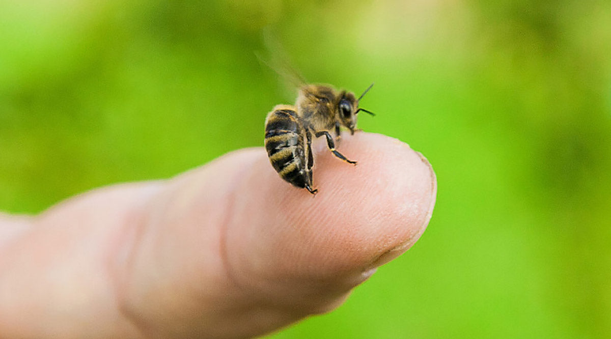 Be sure the honey bee's stinger is removed after a sting.
