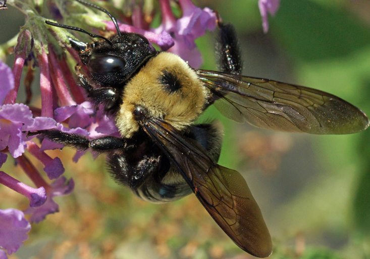 Female Carpenter Bee - Best Bee Brothers