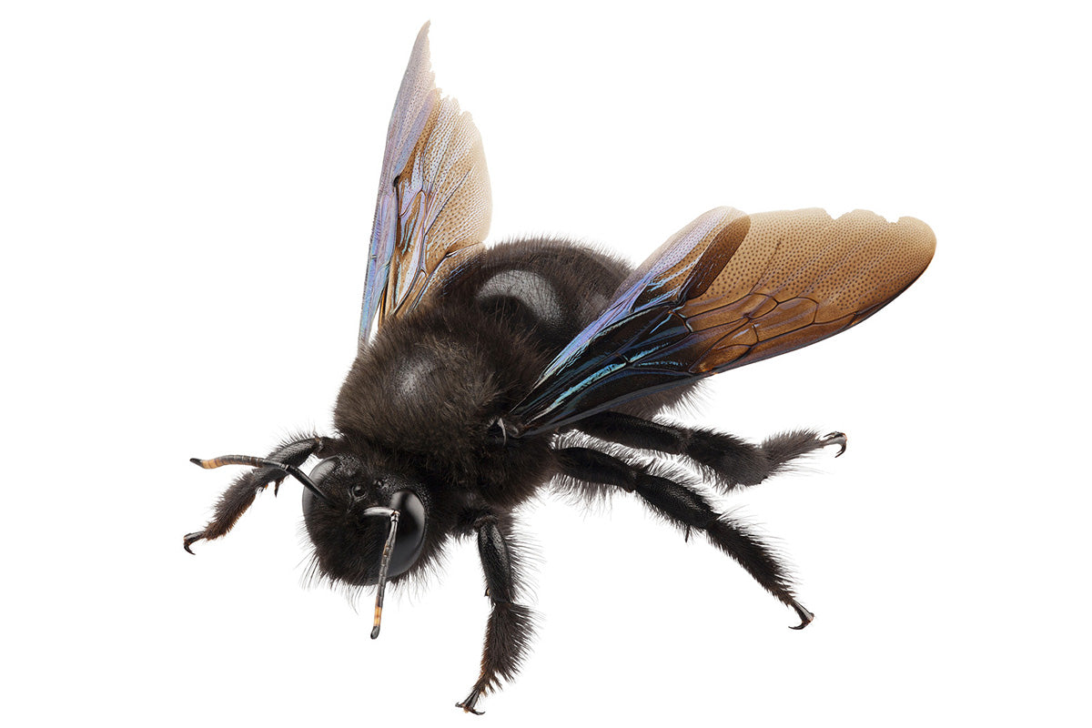 This is a very common looking carpenter bee.
