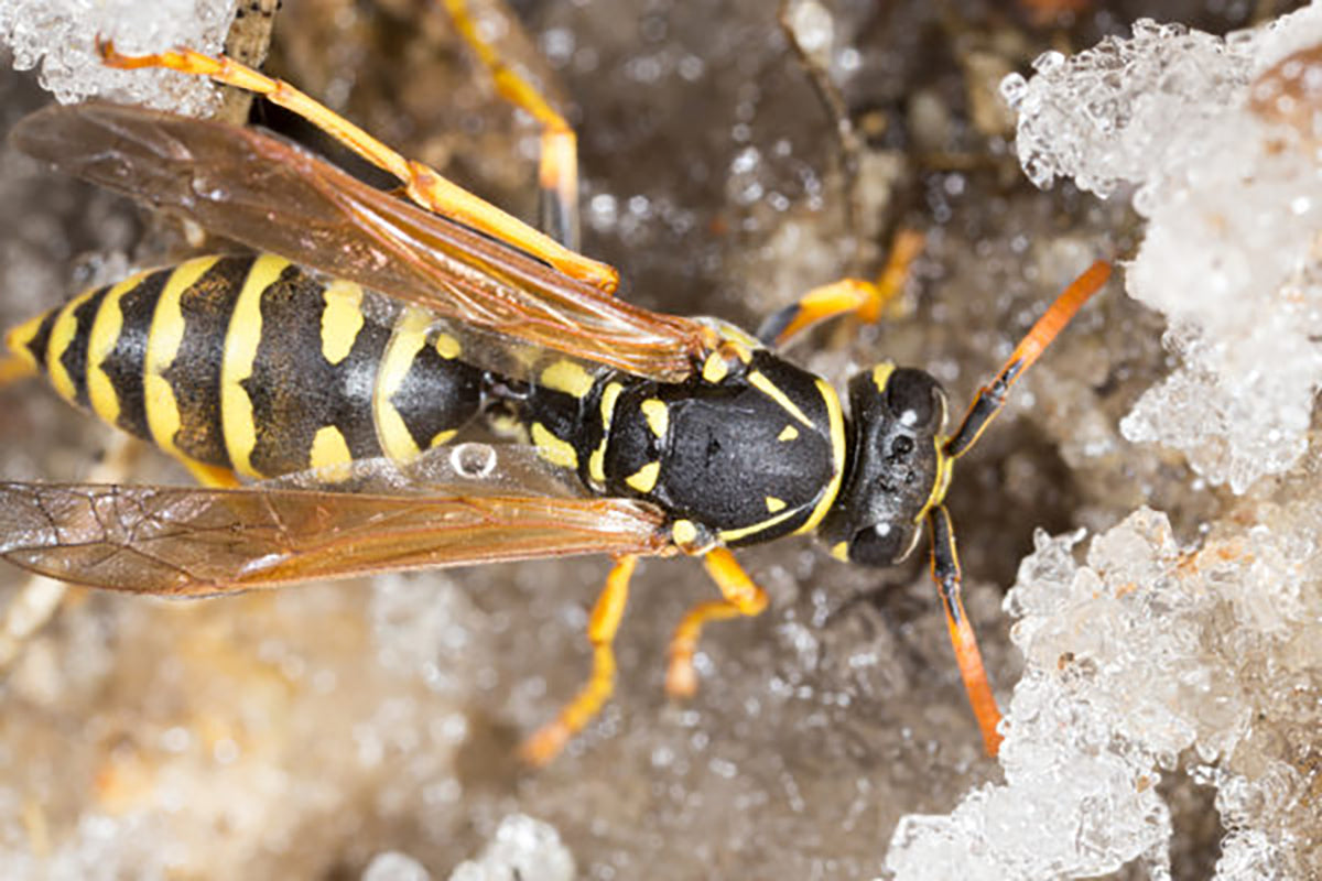 A wasp in the winter